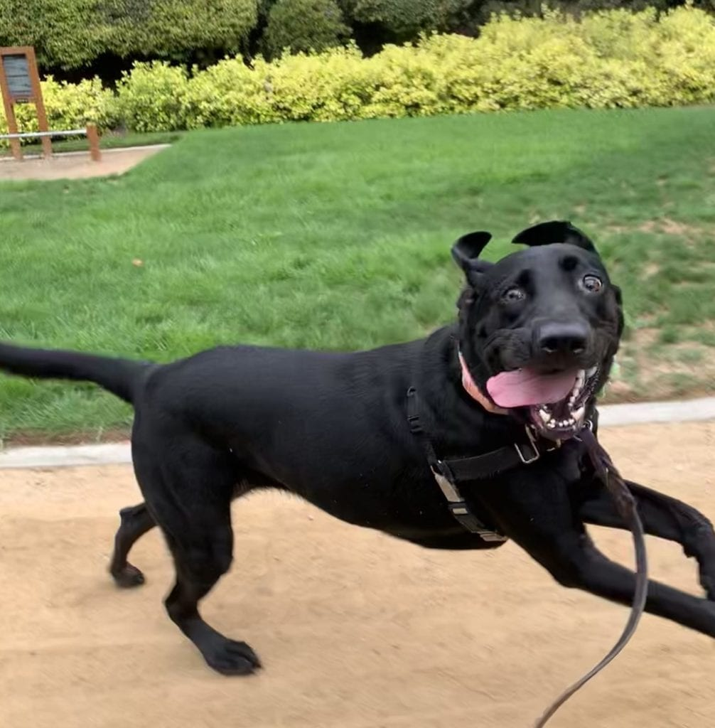 Running Dogs At Dog Parks